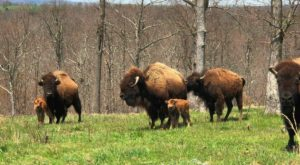 This One Spot In Arkansas Lets You See Where The Buffalo Roam