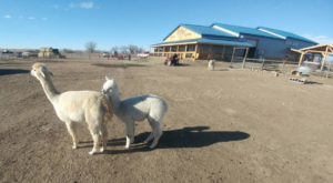There's An Alpaca Farm In South Dakota And You're Going To Love It