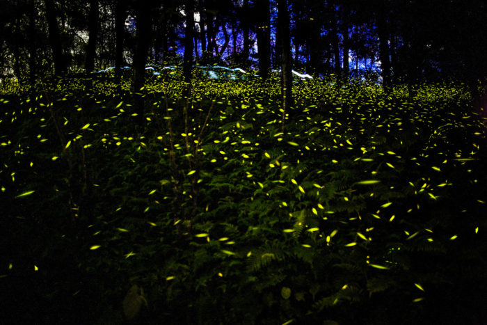 Here Are The Best Times And Places To See Fireflies In ...