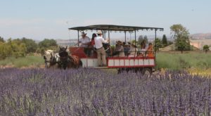 There's A Lavender Festival In Southern California And It's The Dreamiest Place On Earth