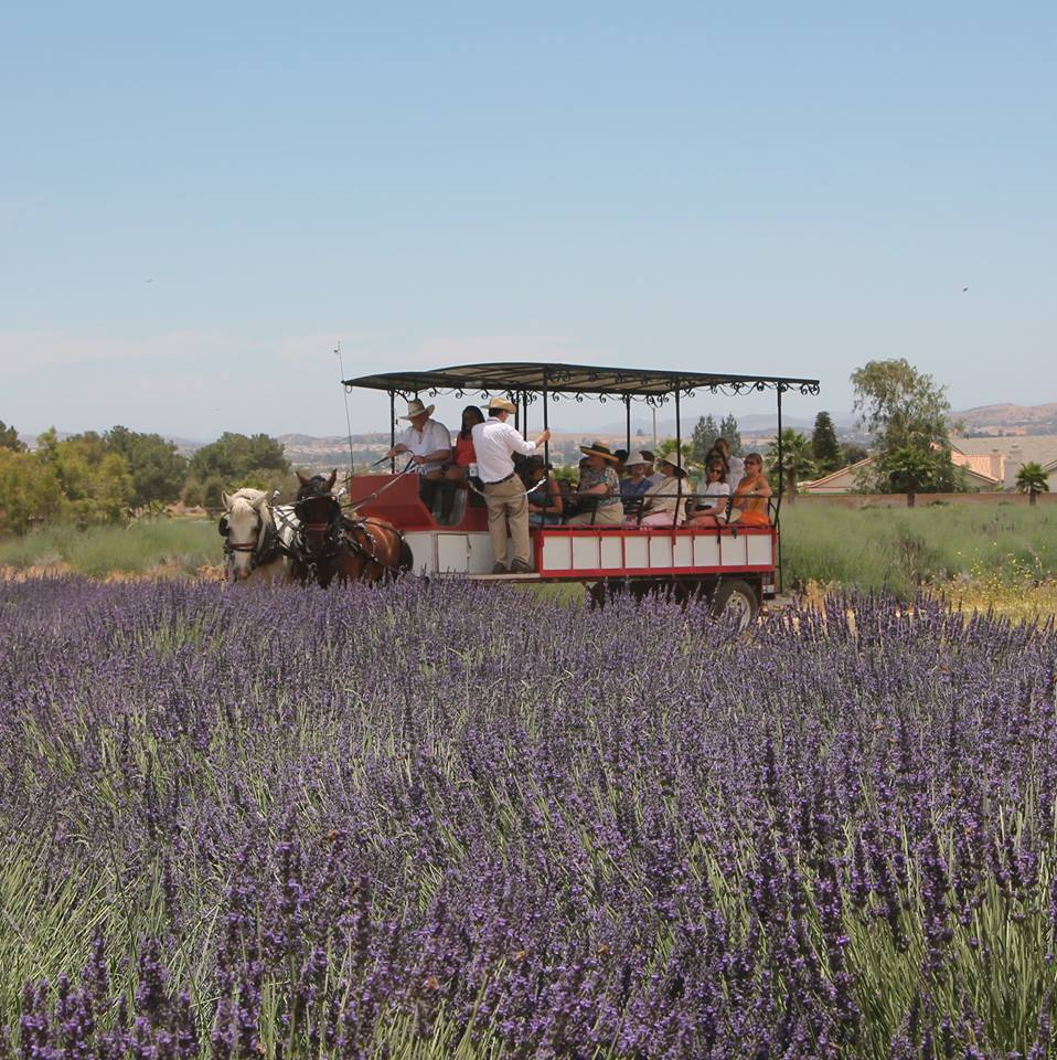 You Ll Want To Attend The Lavender Festival In Southern