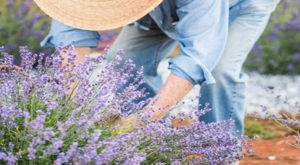 The Enchanting Lavender Farm In South Carolina Will Transport You Into A Sea Of Purple