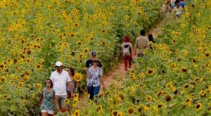 You're Going To Love This Amazing Sunflower Trail & Festival In Louisiana