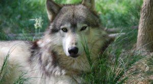 Not Many People Know About This Wolf Sanctuary Right Here In Mississippi