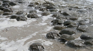 The Shores Of Connecticut's Beaches Are Being Invaded By Thousands Of Living Fossils
