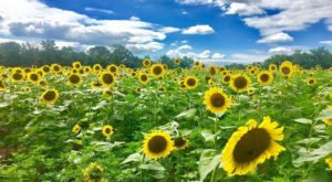 If You Live In Maryland, You'll Want To Visit This Amazing Sunflower Field This Summer