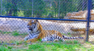 There's A Tiger Farm In Texas And You're Going To Love It