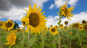 Most People Don't Know About This Magical Sunflower Field Hiding Near Cleveland