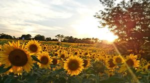 This Stunning Sunflower Field In Cincinnati Is Now In Full Bloom And You Have To See It For Yourself