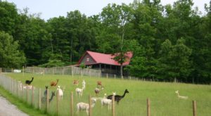 The One-Of-A-Kind Farm In Nashville Where You Can See Alpacas Up Close