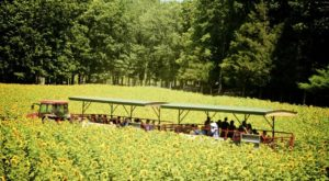 Connecticut Comes Alive With Color At This Incredible Sunflower Festival