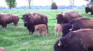 Few People Know You Can Spend The Night At Arkansas' Only Buffalo Farm