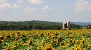 There's A 40-Acre Sunflower Maze In New Jersey That's Just As Magnificent As It Sounds