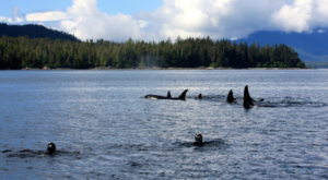 Only In Alaska Can You Snorkel With Orcas