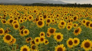 There's A 5-Acre Sunflower Maze In Illinois That's Just As Magnificent As It Sounds