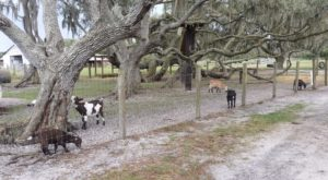 You'll Have Loads Of Fun At This Dairy Farm In Florida With Incredible Ice Cream And Cheese