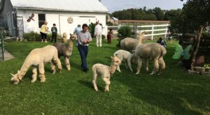 Sip Wine With Alpacas At This Charming Ranch In Wisconsin