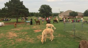 Sip Wine With Alpacas At This Charming Ranch In Oklahoma