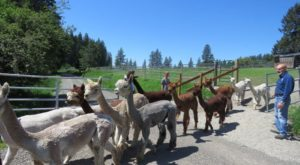 There's An Alpaca Farm In Idaho And You're Going To Love It