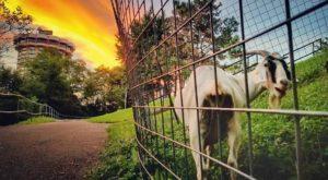 The Endearing Reason Why Goats Roam The Hills Of A Park Near Cincinnati