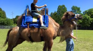 A Visit To This One Of A Kind Camel Farm In Wisconsin Is An Absolute Blast