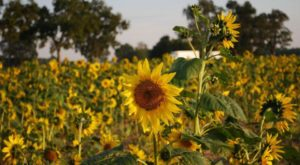 Your Family Will Love This Endless Field Of Sunflowers This Fall In Arkansas