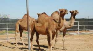 A Visit To This One Of A Kind Camel Farm In Arizona Is An Absolute Blast