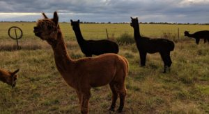 Your Heart Will Melt For Alpacas When You Visit This Farm In New Mexico