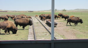 A Visit To This Bison Ranch In Wyoming Will Be The Most Fun Trip You Take All Year