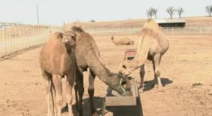 A Visit To This One Of A Kind Camel Farm In Oklahoma Is An Absolute Blast