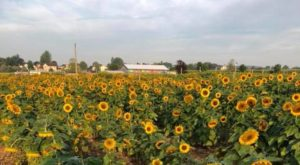 Pick Your Own Sunflowers At This Charming Farm Hiding In Pennsylvania