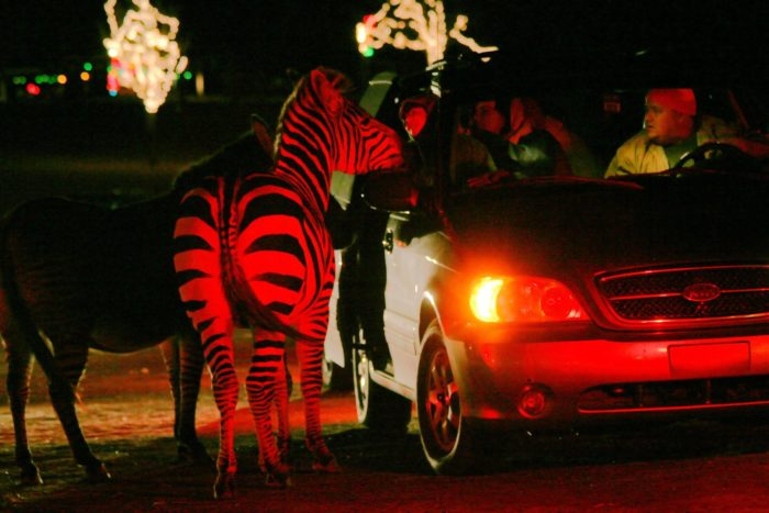 Each year, Hollywild Animal Park near Inman opens for a drive-thru lights  experience like no other in South Carolina. - Hollywild's Drive-Thru Christmas Safari In South Carolina Is The