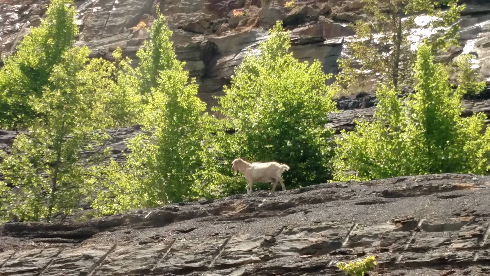 The Powell's Mountain Goat Is A Living Legend in West Virginia