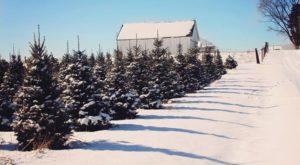 You'll Want To Visit The Best Christmas Tree Farm Near Cincinnati This Season