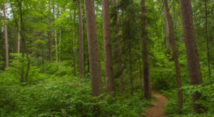 Hike This Ancient Forest In Minnesota That's Home To 250-Year-Old Trees