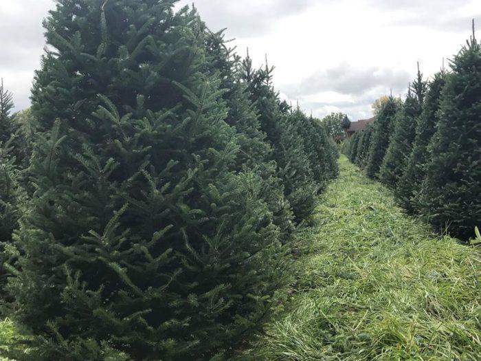 Bartels Farm Is The Best Christmas Tree Farm Near Cincinnati