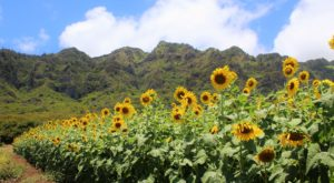 Pick Your Own Sunflowers At This Charming Farm Hiding In Hawaii