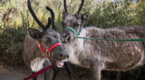 The Reindeer Festival In Southern California That Will Positively Enchant You This Season