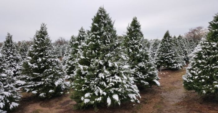 Dewberry Farm Is The Best Christmas Tree Farm In Texas
