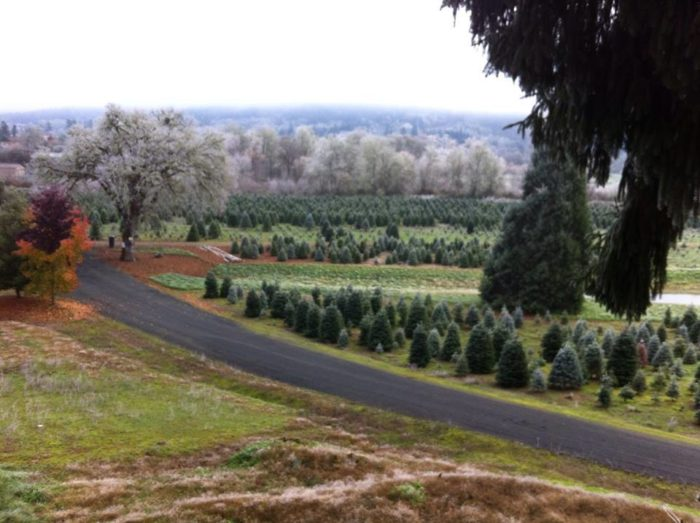 Get Your Christmas Tree From One Of These Tree Farms In Oregon