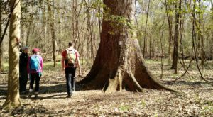 Hike This Ancient Forest In South Carolina That's Home To 500-Year-Old Trees
