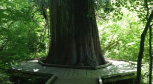 Hike This Ancient Forest In Washington That's Home To 1,000-Year-Old Trees