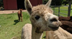 There's An Alpaca Farm In Mississippi And You're Going To Love It