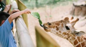 You Can Enjoy Breakfast With Giraffes At This Texas Zoo