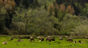 The Magical Place In Northern California Where You Can View A Wild Elk Herd