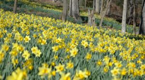 You've Never Seen Anything Like This Enchanting Daffodil Garden In Texas