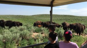 The Magical Place In Kansas Where You Can View A Wild Bison Herd