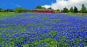 Bluebonnet Season Came Early This Year In Texas And Here Are The Best Places To See Them