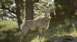 The Magical Places In Nebraska Where You Can View A Wild Bighorn Sheep Herd