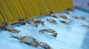 Watch Blue Crabs Race At The Quirkiest Festival In Maryland